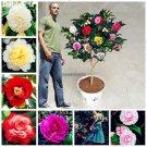 100 Real Camellia Seeds Japanese Import Bonsai Flower Seeds Outdoor Plants Decor De Efecto Invernad
