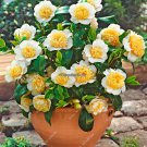 Indoor  Outdoor Camellia Seeds Semillas De Flores Raras Yellow Tea Tree Flower Seeds Shrub Bonsai G