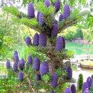 50 pcs lot purple Korean fir seeds   Abies koreana   bonsai tree seeds SOW ALL YEAR garden decorati