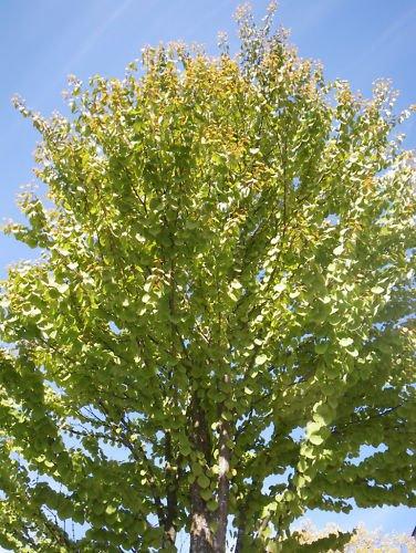 Katsura Tree ( Cercidiphyllum Japonicum ) 30 Seeds