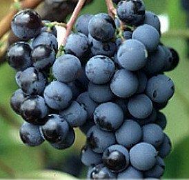 CAUCASIAN BLACK GRAPES VINE 25+ SEEDS (RARE-FRAGRANT-FRESH)