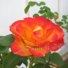 Charc: Imperfection , 5 x 7 Print, Fine Art Image Photo Digital, flower floral Rose Flame