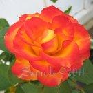 Charc: Imperfections, 5 x 7 Print, Fine Art Image Photo Digital, flower floral Rose Flame