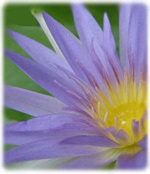 SACRED EGYPTIAN LILY SEEDS Nymphaea Caerulea Blue Lotus (5 Seeds)