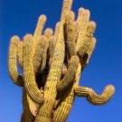 10 TRICHOCEREUS PASACANA Seeds ~ San pedro cousin