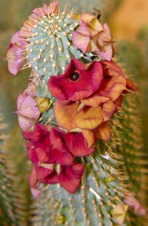 Hoodia Ruschii 5 Seeds ~ Succulent- Gordonii cousin
