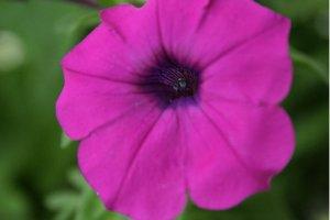 Petunia Violacea Laura Bush 5000 Seeds Fragrant Flower