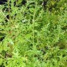 300 Sweet Annie Artemisia Annua Sagewort WORMWOOD seeds