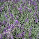 Lavandula Angustifolia ENGLISH LAVENDER 20 seeds