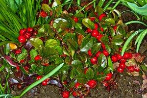Creeping WINTERGREEN SEEDS Gaultheria Procumbens