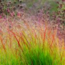 DACOTAH SWITCH GRASS 2000 Seeds Panicum Virgatum