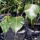 Ficus Religiosa BODHI Sacred Fig Tree seeds - BONSAI