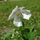 Poppy Giganteum Papaver Somniferum Organic 300+++ Seeds ~ gigantium