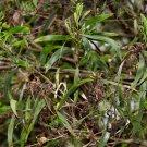 Acacia Maidenii seeds MAIDEN'S WATTLE mimosa family