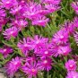 50 ICE PLANT Seeds ~ Delosperma Cooperi PINK CARPET