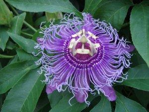 Viable Passiflora Incarnata PURPLE PASSION FLOWER seeds
