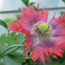 "600+ Papaver Somniferum ""PEPPERBOX"" poppy plant seeds"