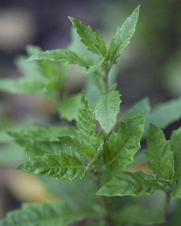 300+ EPAZOTE Chenopodium Ambrosoides seeds- Mayan Herb