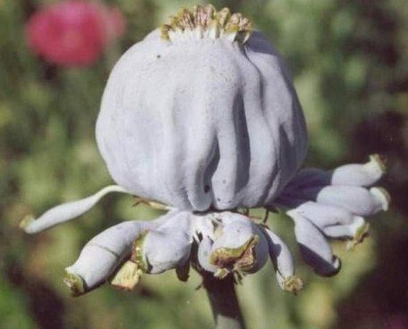 1000++ Papaver Somniferum HENS and CHICKS POPPY Seeds