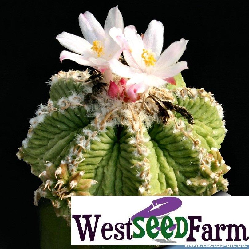 20 AZTEKIUM RITTERI seeds AZTEC CACTUS Freshest Seeds!!!!!