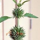Leonotis Nepetifolia Wild / KLIP DAGGA 20 FRESH SEEDS