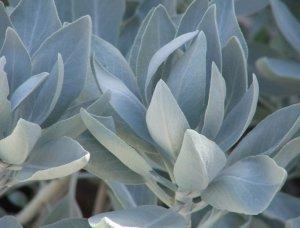 10 SALVIA APIANA White / Desert / Sacred Sage seeds