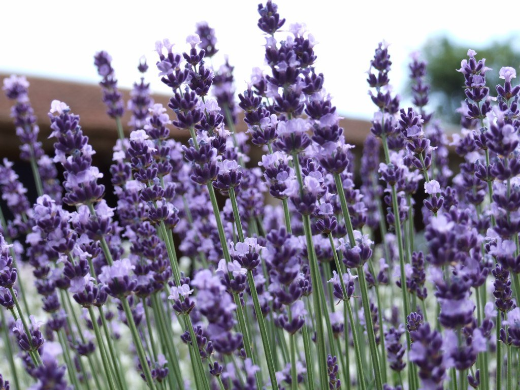 Lavender Vera TRUE Lavandula angustifolia Heirloom Seed