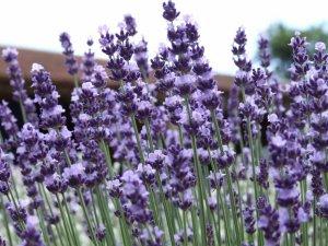 Lavender Vera TRUE Lavandula angustifolia Heirloom Seed