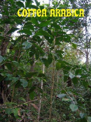 Coffea Arabica beans GROW Your Own COFFEE!! PLANT SEEDS