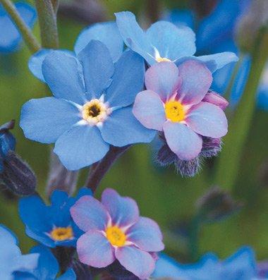 125 Bobo Blue Seeds! Forget Me Not (Myosotis sylvatica)