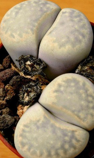 10 LITHOPS JULII Cactus Seeds LIVING STONES African