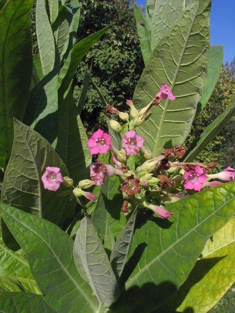 300 TENN BURLEY TN90 TOBACCO ~ Nicotiana Tabacum Seeds