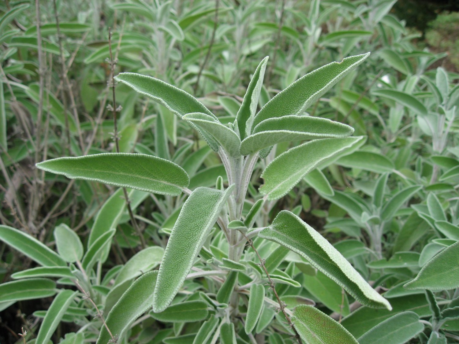 Salvia Officinalis (Garden Sage, Common Sage) 40 Seeds!