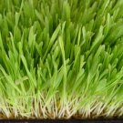 Barley Grass 2000 SEEDS ~ Organic ~ High Alkaline Line ~ Reduce Acidity
