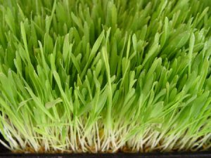 Barley Grass 2000 SEEDS ~ Organic ~ High Alkaline Line ~ Reduce Acidity