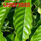 Coffea CANEPHORA Coffee BEANS ROBUSTA PLANT Seeds