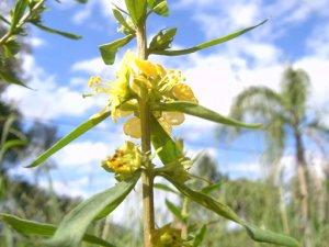 SUN OPENER Seeds HEIMIA SALICIFOLIA Sinicuichi