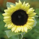 Sunflower 20 Seeds Pro Cut Lemon (F1) (Helianthus annuus) Early Blooming!!