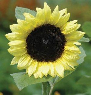 Sunflower 20 Seeds Pro Cut Lemon (F1) (Helianthus annuus) Early Blooming!!