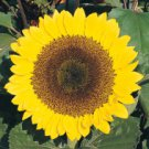 Sunflower Seeds Sunrich Lemon (F1) FRESH (Helianthus annuus) Pollenless