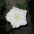 Ipomoea Alba	Morning Glory RARE WHITE VARIETY 20 Seeds MOONFLOWER