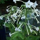 100 Nicotiana Sylvestris (Woodland Tobacco)- Seeds