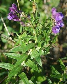 Scutellaria Baicalensis (Chinese Skullcap)- 50 herb seeds