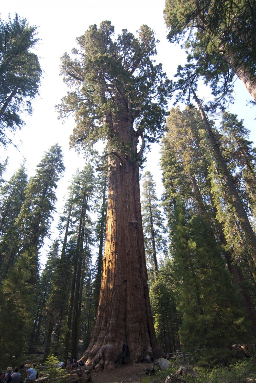 Giant Sequoia Bonsai