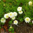 1000+ ROMAN CHAMOMILE SEEDS -Anthemis Nobilis TEA herb