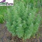 300 ABSINTHE HERB Artemisia Absinthium WORMWOOD seeds