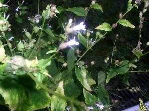 100 Lobelia Inflata ~INDIAN TOBACCO~ Asthma Herb seeds