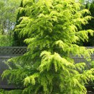 10 Cedrus Deodara Tree Seeds Himalayan Cedar (Deodar Cedar) Large Evergreen Grow
