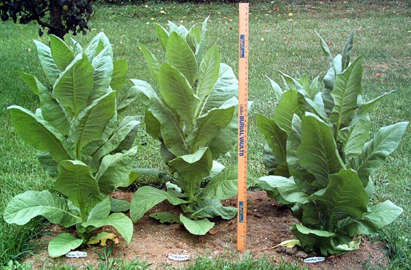 tobacco seeds labpaq Harvesting tobacco seeds tobacco is an amazing plant the seeds are tiny, dust really it is not the easiest plant to start it needs really rich soil and moisture.