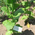 50 Samsun ~ TOBACCO Seeds Pipe Blends Turkish Type Plant Nicotiana Tabacum Fresh